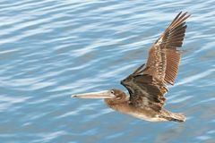 Pelican flies low over water. On a sunny day Royalty Free Stock Images