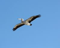 Pelican flies past. A pelican soars past heading up the beach Royalty Free Stock Photo