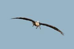 Pelican in flight Royalty Free Stock Photos