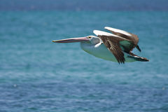 Pelican in flight Stock Photography