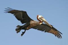 Pelican In Flight. A close shot of a pelican in flight against a blue sky stock photos