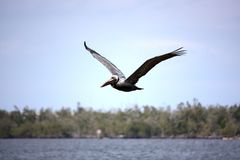 Pelican in flight Stock Image