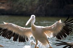 A Pelican in flight. Rosy pelicans /pelecanus onocrotalus lands in a pond Stock Photo