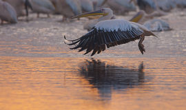 Pelican In Flight Stock Photo
