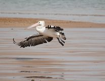 Pelican in flight. A pelican glides in to land on the beach Royalty Free Stock Photo