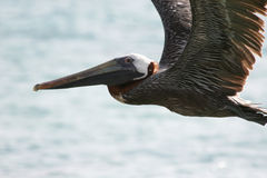 Pelican in Flight Royalty Free Stock Images