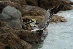 Pelican Flight 3 Stock Photo