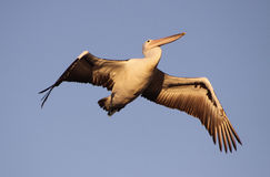 Pelican in flight. Early morning pelican in flight showing beautiful feather detail stock photography