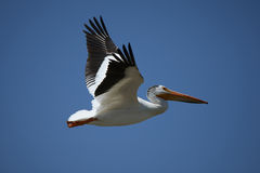 Pelican in flight. An American White Pelican bird in flight against blue sky stock image