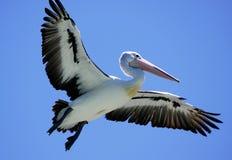 Pelican in flight Stock Images
