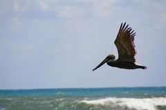 Pelican in Flight. Pelican flying over the florida sea with the sun on it's back royalty free stock photography