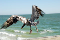 Pelican in flight. Pelican taking off from pier over the ocean on beach, Florida Stock Images