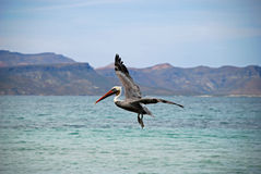 Pelican in Flight. Against Island Mountain Backdrop Stock Photos