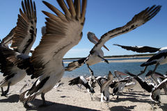 Pelican flight Royalty Free Stock Images