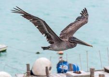 Pelican in flight Royalty Free Stock Photo