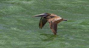 Brown Pelican in flight Clear water beach Florida. Clearwater royalty free stock photo