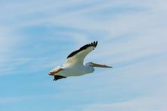 Pelican in Flight close-up Stock Image