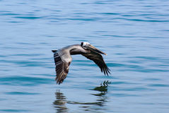 Pelican in Flight Displaying its Big Wings Royalty Free Stock Images