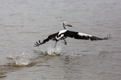Pelican in flight on the Fleurieu Peninsula Goolwa South Australia on 3rd April 2019. A Pelican in flight on the Fleurieu Peninsula Goolwa South Australia on 3rd royalty free stock photos