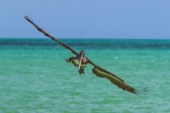Pelican in flight. Frontal view of pelican approaching in flight with wings spread Royalty Free Stock Photos