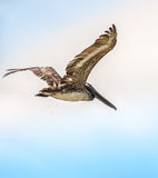 Pelican in Flight Royalty Free Stock Image