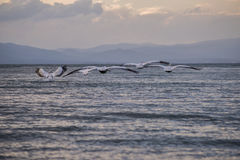 Pelican Flight II. Swarm of pelicans flying close to the lake surface, during a clouded sunset Stock Image