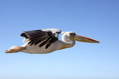 Pelican in flight - Namibia Stock Image
