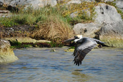 Pelican in flight. Royalty Free Stock Photography