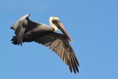 Pelican in flight. Stock Photography