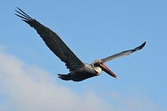 Pelican in flight. Stock Photo