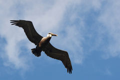 Pelican in flight. Royalty Free Stock Images
