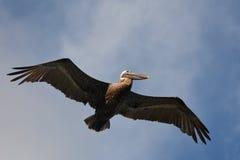 Pelican in flight. Stock Image
