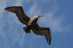 Pelican in flight. Royalty Free Stock Image