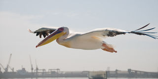 Pelican in flight over harbour Royalty Free Stock Images