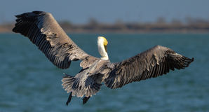 Pelican in Flight. At Palacios, Texas Royalty Free Stock Images