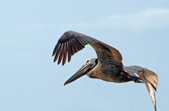 Pelican - In Flight 3 Royalty Free Stock Photos