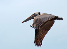Pelican - In Flight 2 Royalty Free Stock Images