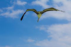 Pelican flight. Pelican soaring in sky viewed from below, Mexico Royalty Free Stock Photos
