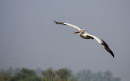 Pelican Flight Royalty Free Stock Photo