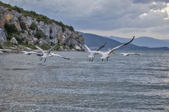 Pelican Flight. Swarm of pelicans flying close to the lake surface, during a clouded sunset Royalty Free Stock Image