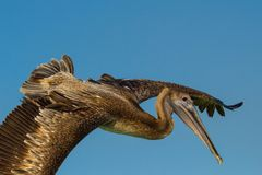 Pelican in flight. View of immature brown pelican passing in flight with wings spread Stock Photos