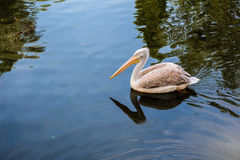 Pelican floating in the lake Royalty Free Stock Image