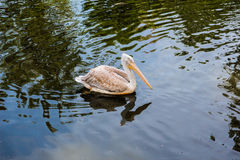Pelican floating in the lake Royalty Free Stock Photo