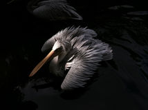 Pelican floating on the lake Royalty Free Stock Photography
