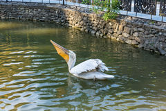 Pelican. Royalty Free Stock Images