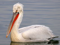 Pelican floating on water. Close up of single white pelican bird swimming on water stock images