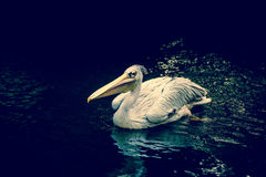 Pelican floating on water Royalty Free Stock Photos