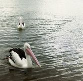 Pelican floating on water at Mallacoota Victoria. Pelican floating in the water, swimming, fishing along the seashore in shallow water Royalty Free Stock Photo