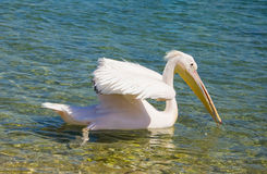 Pelican floating on the waves of the sea Stock Photos