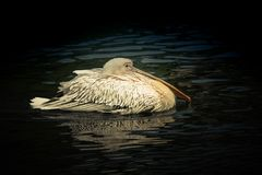Pelican floats on the water. Surface Stock Photography